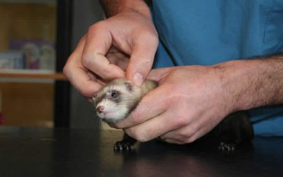 February is ferret month!