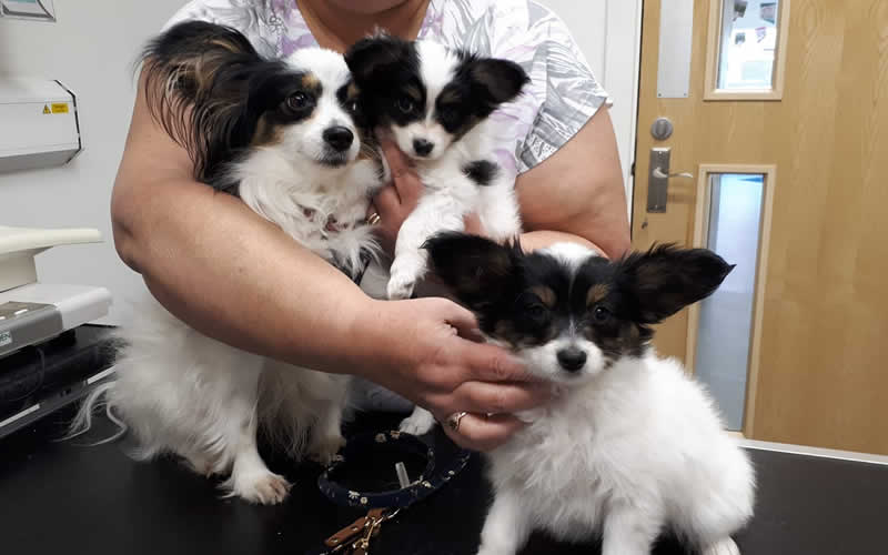 Papillon puppies at Ashfield House Vets